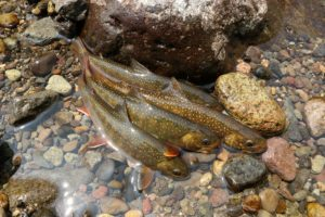オショロコマは手軽に出逢える魚