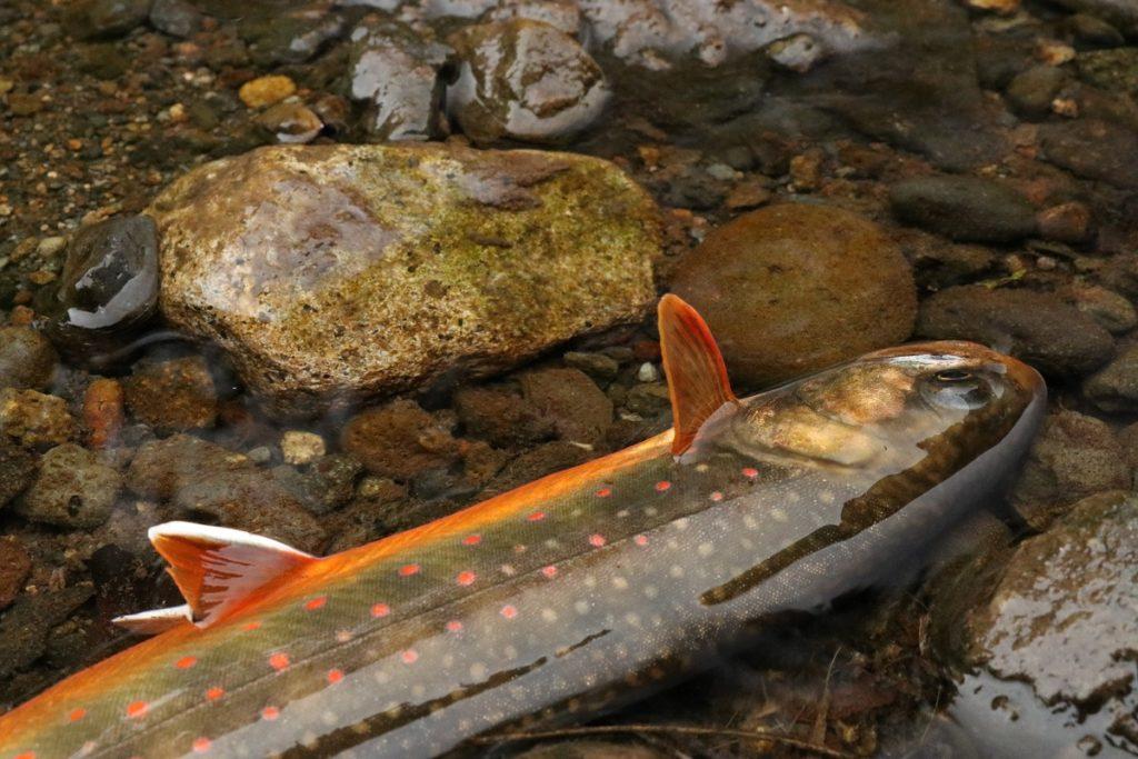 オショロコマ(Salvelinus malma)