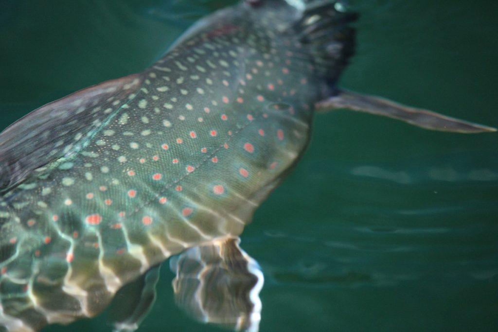 ミヤベイワナは、それにしても美しい「鱒」だ
