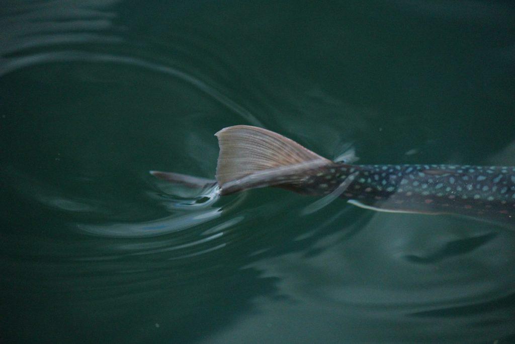 謎めいた魚 ミヤベイワナ