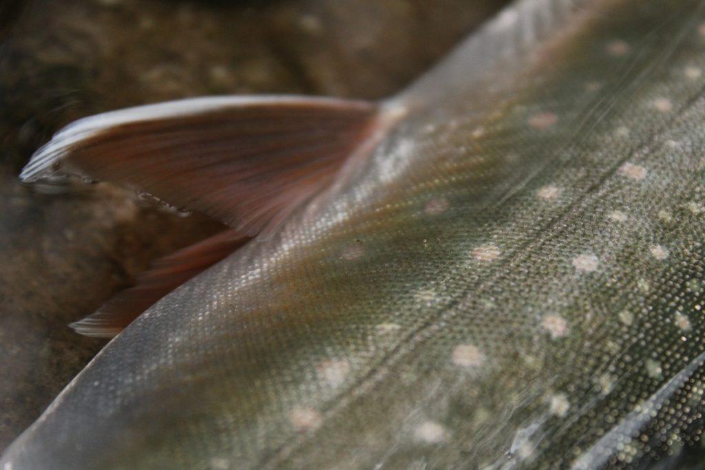 銀ピカの魚体が然別湖のスタンダード