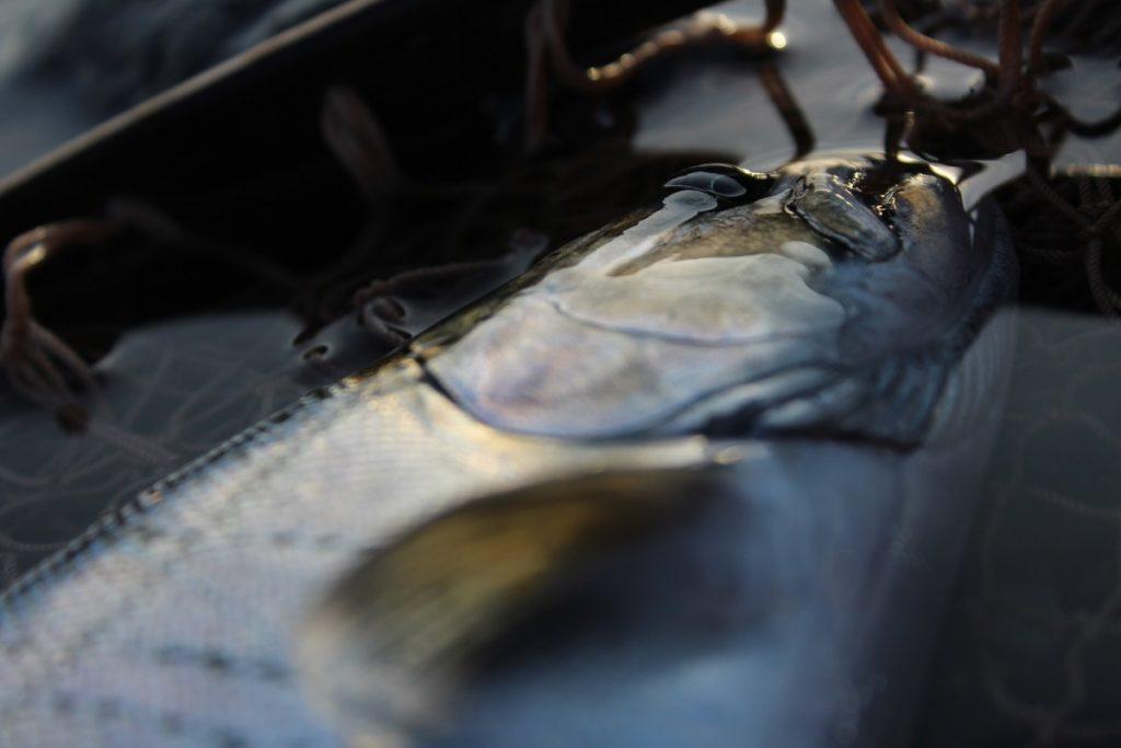 このアングルからだとヤマメに近い表情に映る